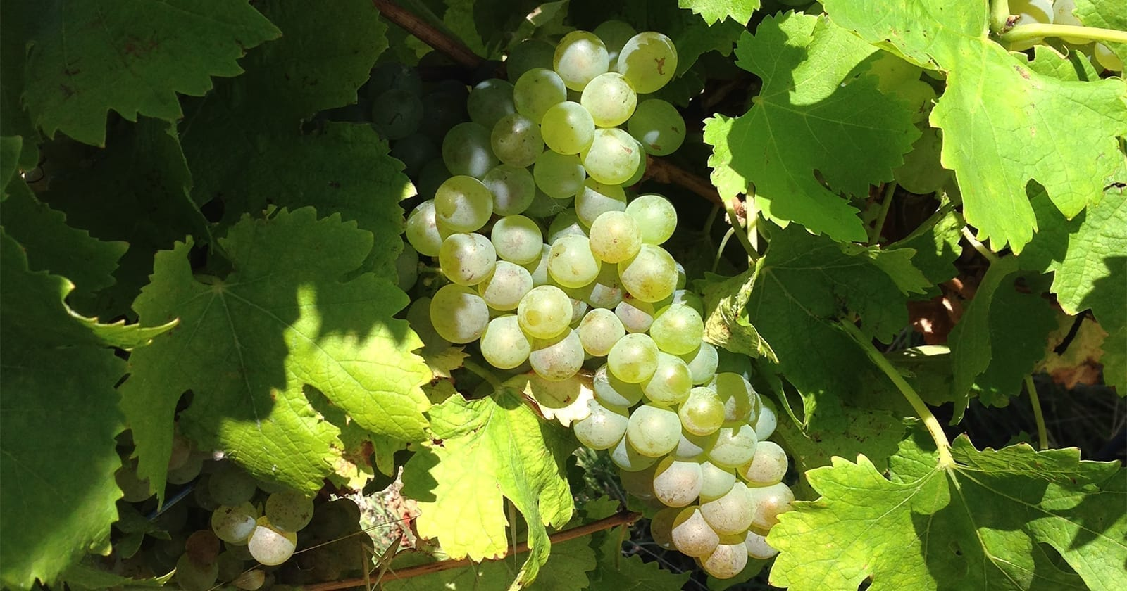 Bunch of McLaren Vale Viognier grapes